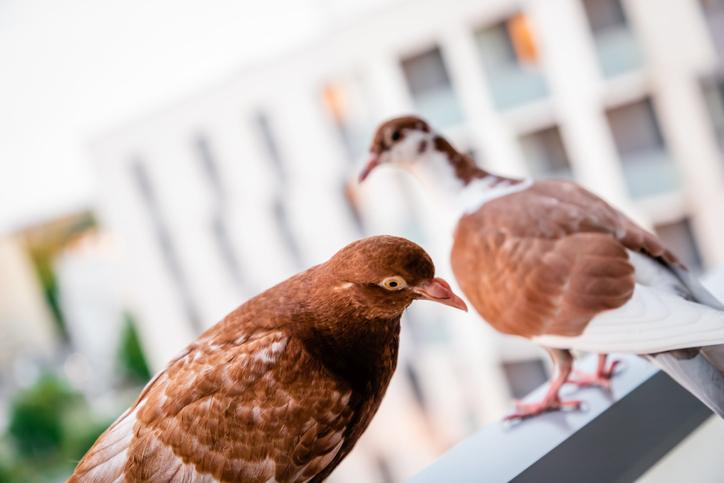 Czy dźwiękowe odstraszanie ptaków jest skuteczne?